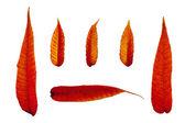 Fiery autumn leaves 2 — Stock Photo