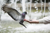 Pigeon eats from hand — Stock Photo