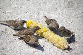 Sparrowa are eating corn — Stock Photo