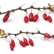 Stock Photo: Barberry branch