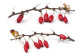 Barberry branch — Stock Photo