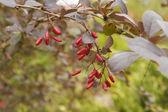 Berberisfamilie bush met bessen — Stockfoto