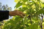 Comprobación de la madurez de las uvas — Foto de Stock