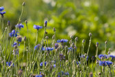 Cornflower in meadow — Stock Photo
