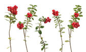 Cowberry twigs — Stock Photo