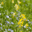 Forget-me-not and Cowslip - Stock Photo