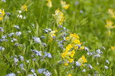 Forget-me-not and Cowslip — Stock Photo