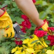 Stock Photo: Gardener cuts rose