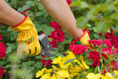 Gardener cuts rose — Stock Photo