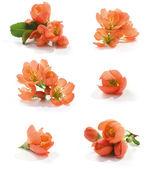 Kweepeer bloem — Stockfoto