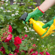 Stock Photo: Spraying roses