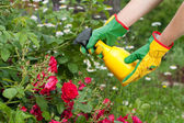 Spraying the roses — Stock Photo