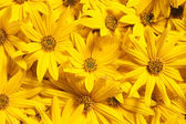 Topinambour flowers background — Stock Photo