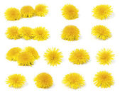 A variety of dandelion — Stock Photo