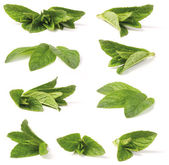 Various green peppermint — Stock Photo