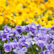 Pansies flower — Stock Photo #25870557
