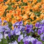 Pansies flower — Stock Photo