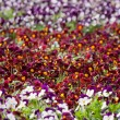 Pansies flower in a plant nursery — Stock Photo