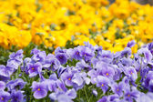 Pansies flower — Stock Photo