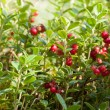 Stock Photo: Cowberries in forest
