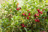 Cowberries in forest — Stock Photo