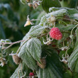 Frost on the raspberries — Stock Photo