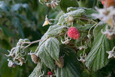 Frost on the raspberries — Stockfoto