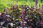Albahaca morada — Foto de Stock
