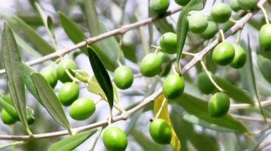 Olive grove — Stock Video