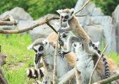 Lemure — Stock Photo