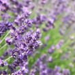 Lavender flowers with bee — Stock Video