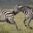 Angry Zebras — Stock Photo #21825799