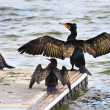 black cormorant — Stock Photo
