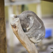 Koala sleeping — Stock Photo