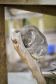 Coala dormindo — Fotografia Stock