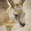 Kangaroo head portrait — Stock Photo