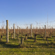 Vineyard — Stock Photo #29982335