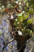 Possum during the day — Stockfoto