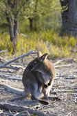 Wallaby en baby — Stockfoto