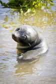 Bont zeehonden — Stockfoto