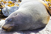 Kaikoura fur seal — Stock Photo