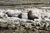 Kaikoura Fur Seal — Stock Photo
