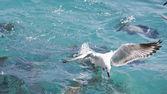 Seagull fishing — Stock Photo