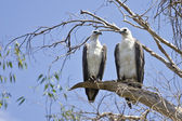 Two White-bellied Fish Eagle in Kakadu National Park, Australia — Stock Photo