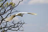 White bird flying in Kakadu National Park — Stock Photo