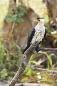 Pájaro blanco y negro — Foto de Stock
