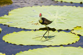 Jacana and lily flower — Stock Photo