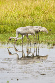 Tre egret dricka — Stockfoto