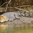 Large saltwater crocodile — Stock Photo #39005245