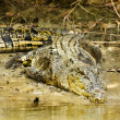 Large saltwater crocodile — Stock Photo #39005249